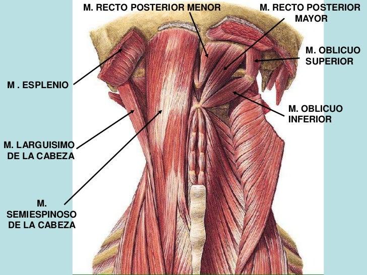 musculos-de-la-cabeza-y-cuello-42-728.jpg?cb=1309467768