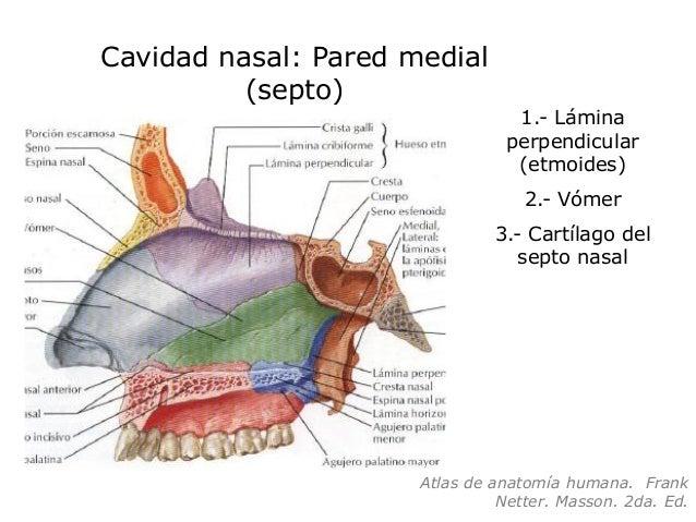 Clase nariz y cpn diplomado otorrinolaringolog a para for Pared lateral de la cavidad nasal