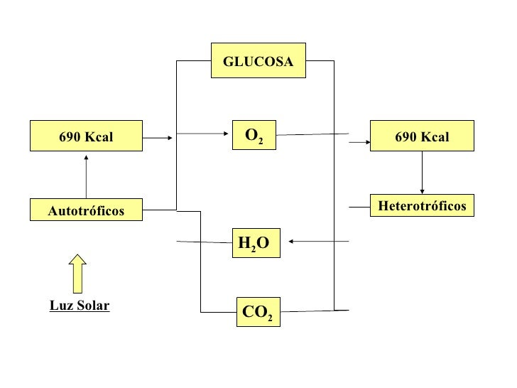 GLUCOSA 690 Kcal Autotróficos Luz Solar O 2 690 Kcal Heterotróficos H 2 O CO 2