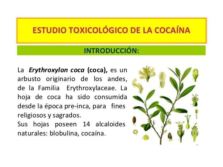 ESTUDIO TOXICOLÓGICO DE LA COCAÍNA                     INTRODUCCIÓN:La Erythroxylon coca (coca), es unarbusto originario d...