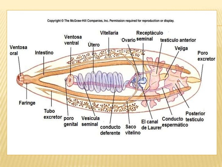 Diagram Of Liver Fluke Diagram Of Whipworm ~ Elsavadorla
