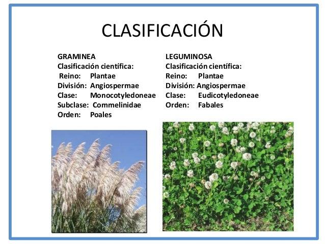 CLASIFICACIÓNGRAMINEA                      LEGUMINOSAClasificación científica:     Clasificación científica:Reino: Plantae...