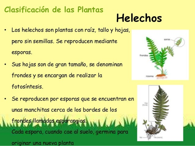 Clasificaci n de las plantas - Cuidados de los helechos ...