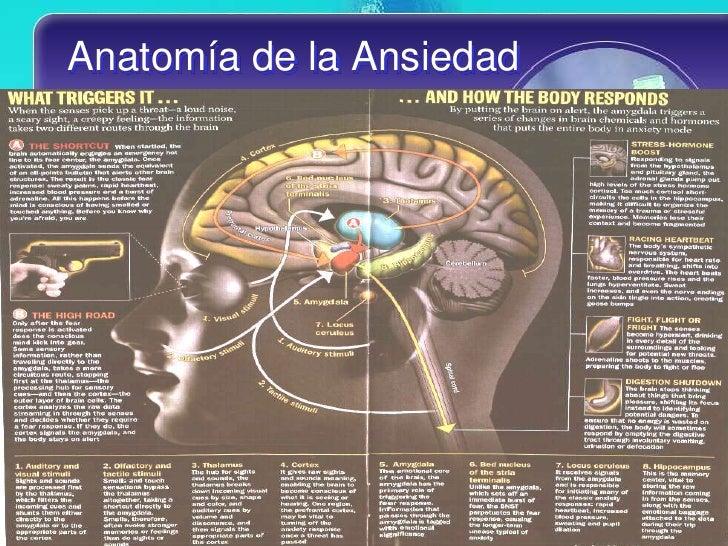 Moderno Anatomía De La Ansiedad Componente - Anatomía de Las ...