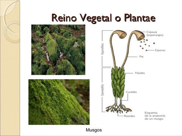 reino vegetal o plantaereino vegetal o plantae hepáticas y anthoceros