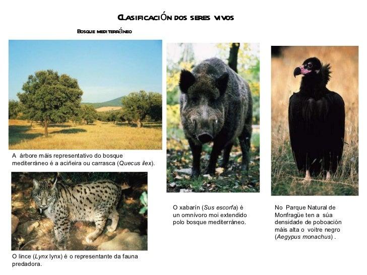 Clasificación dos seres vivos Bosque mediterráneo A  árbore máis representativo do bosque mediterráneo é a aciñeira ou car...