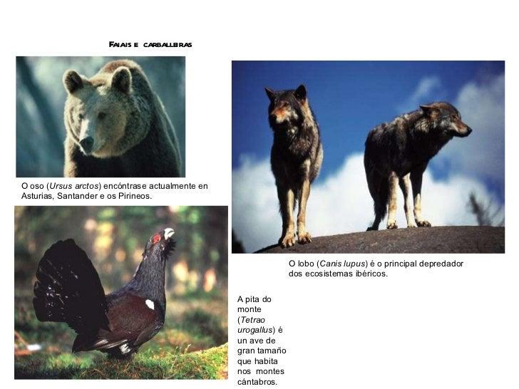 Faiais e  carballeiras O oso ( Ursus arctos ) encóntrase actualmente en Asturias, Santander e os Pirineos. O lobo ( Canis ...