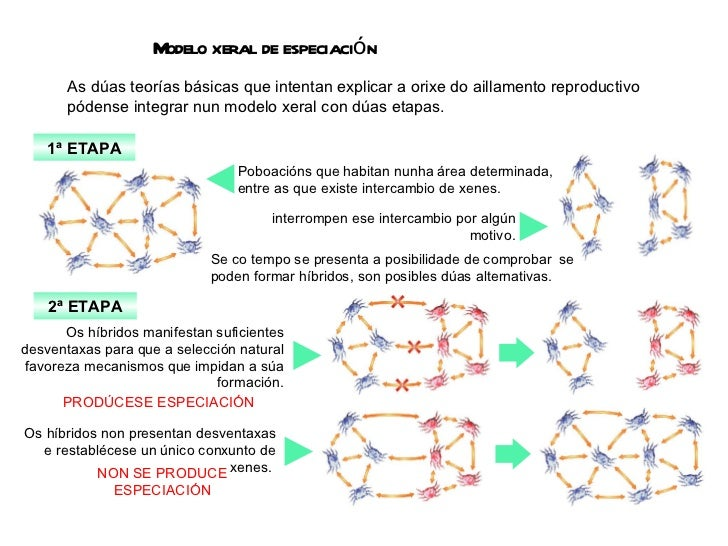 Modelo xeral de especiación As dúas teorías básicas que intentan explicar a orixe do aillamento reproductivo  pódense inte...