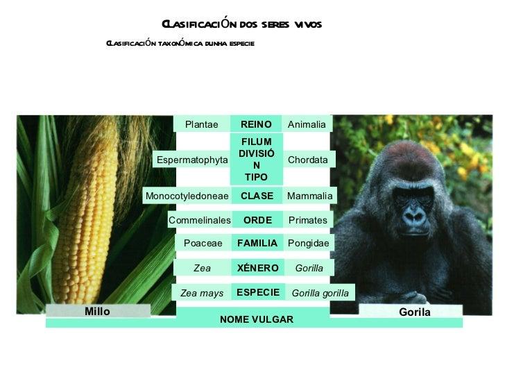 Clasificación dos seres vivos Clasificación taxonómica dunha especie NOME VULGAR Millo Gorila Plantae Animalia REINO Mamma...