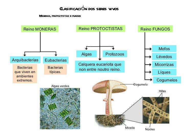 Clasificación dos seres vivos Moneras, protoctistas e fungos Reino MONERAS Reino PROTOCTISTAS Bacterias que viven en ambie...