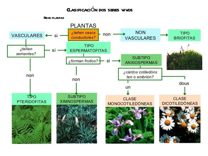 Clasificación dos seres vivos Reino plantas VASCULARES NON VASCULARES TIPO ESPERMATOFITAS SUBTIPO ANXIOSPERMAS ¿teñen vaso...