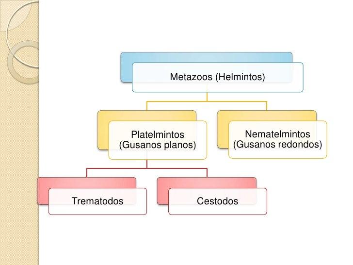 Platelmintos        Trematodos.     Son hermafroditas a excepción del      género Schistosoma.     Cuerpo chato pero ind...