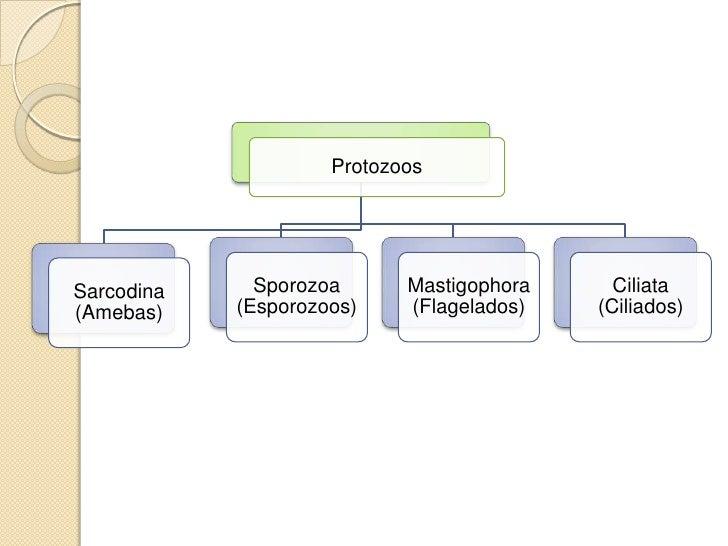 ProtozoosSarcodina     Sporozoa      Mastigophora     Ciliata(Amebas)    (Esporozoos)    (Flagelados)   (Ciliados)