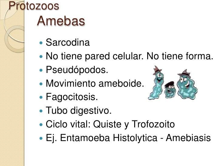 Protozoos     Amebas      Sarcodina      No tiene pared celular. No tiene forma.      Pseudópodos.      Movimiento ame...