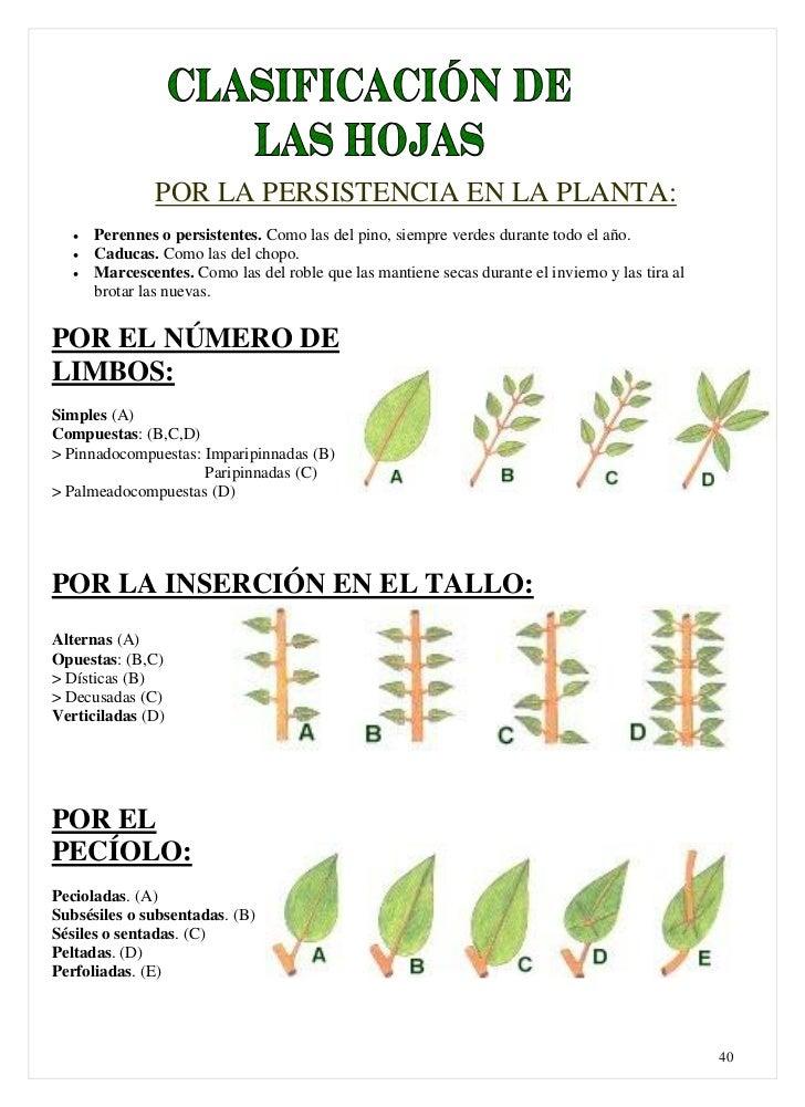Clasificacion de las plantas for Plantas de hojas perennes para jardin