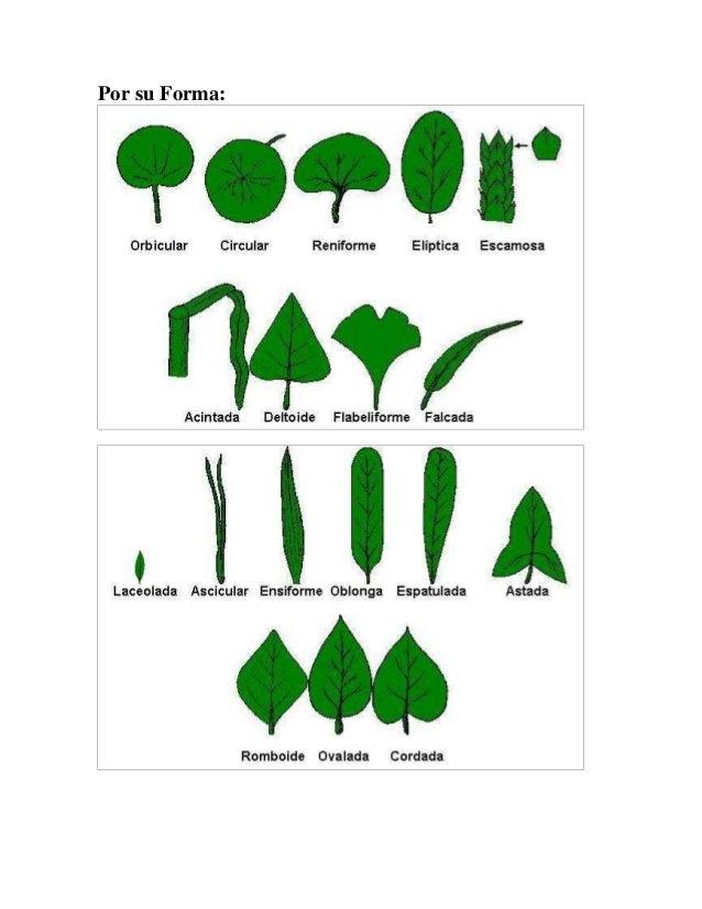 Clasificacion de las plantas por hojas for Clasificacion de las plantas ornamentales
