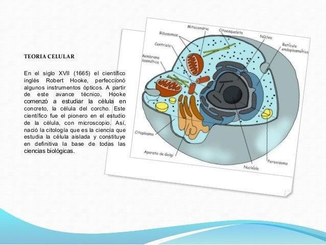 TEORIA CELULAR En el siglo XVII (1665) el científico inglés Robert Hooke, perfeccionó algunos instrumentos ópticos. A part...