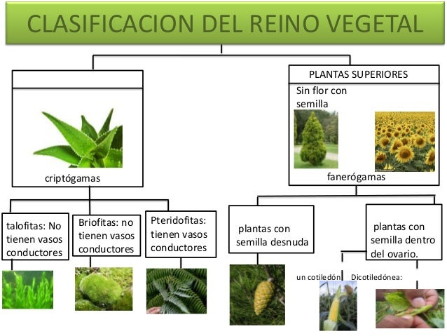 Clasificacion del reino vegetal for Cuales son los tipos de plantas