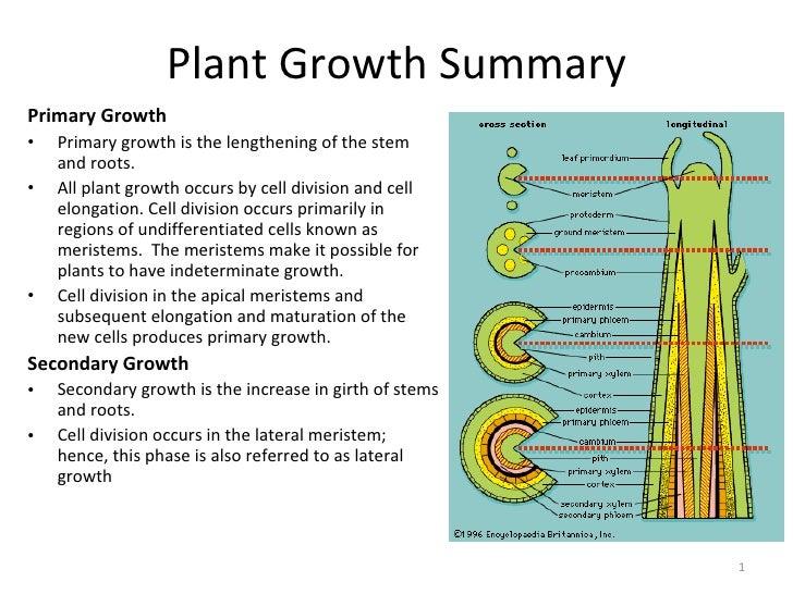 Plant Growth Summary <ul><li>Primary Growth </li></ul><ul><li>Primary growth is the lengthening of the stem and roots. </l...