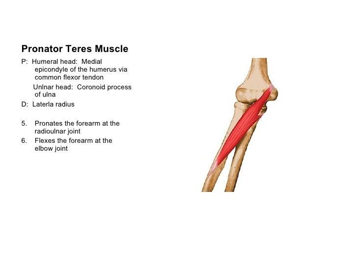 class 2 ap1 muscles, Human Body
