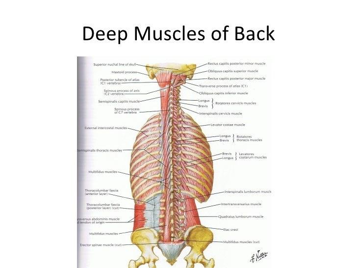 Class 5 Ap1 Muscles