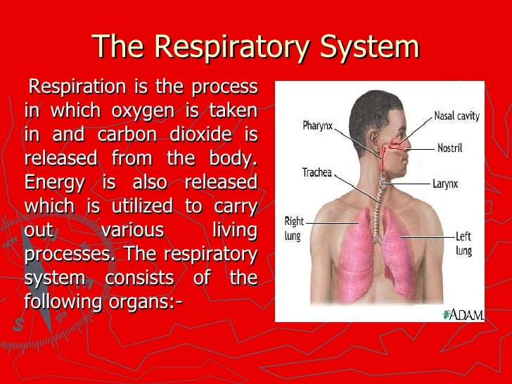 Class6 Human Respiratory System