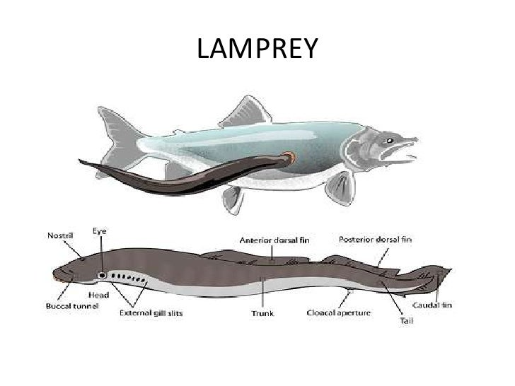 Activity 3 Lamprey