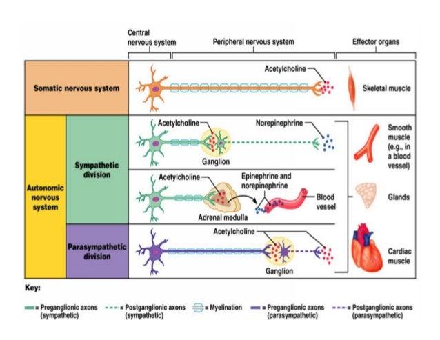 Class Autonomic Nervous System