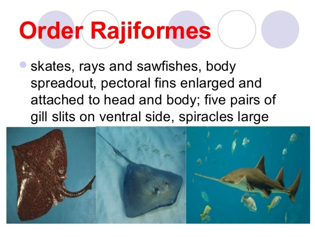Class chondrichthyes zoorepowt 1 for Cartilaginous fish examples