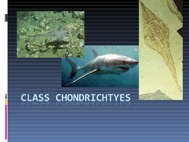 Chondrichtyes They are cartilaginous Fishes Jawed Fishes Paired Fins Paired NaresSharks, Skates, Rays amd Chimaeras