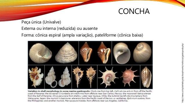 CONCHA Peça única (Univalve) Externa ou interna (reduzida) ou ausente Forma: cônica espiral (ampla variação), pateliforme ...