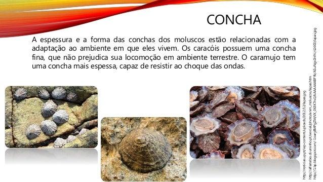 CONCHA http://alfarrabio.di.uminho.pt/vercial/photo/anim_moluscos/lapas.htm http://1.bp.blogspot.com/-1swry8MPgZM/VX_063K7...