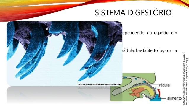 SISTEMA DIGESTÓRIO A alimentação dos gastrópodes é bastante variada, dependendo da espécie em questão. As espécies herbívo...