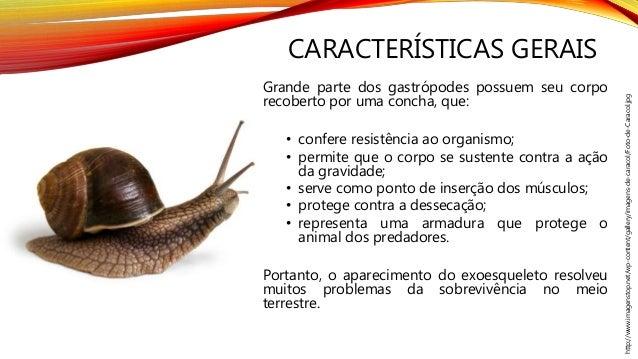 CARACTERÍSTICAS GERAIS Grande parte dos gastrópodes possuem seu corpo recoberto por uma concha, que: • confere resistência...