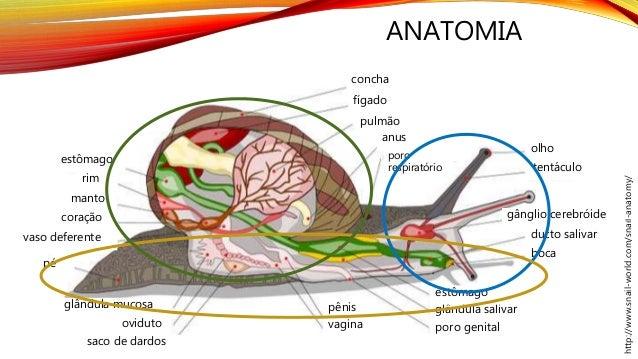 ANATOMIA http://www.snail-world.com/snail-anatomy/ olho tentáculo gânglio cerebróide ducto salivar boca poro respiratório ...
