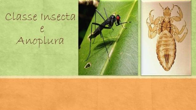 Classe Insecta e Anoplura