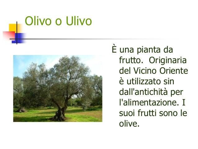 Olivo o Ulivo È una pianta da frutto. Originaria del Vicino Oriente è utilizzato sin dall'antichità per l'alimentazione. I...