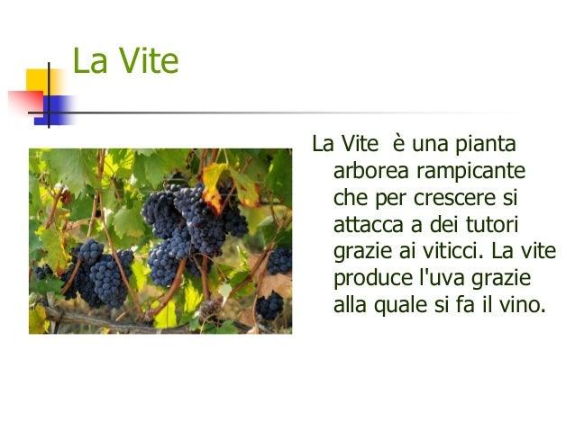 La Vite La Vite è una pianta arborea rampicante che per crescere si attacca a dei tutori grazie ai viticci. La vite produc...