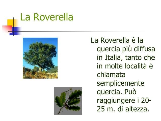 La Roverella La Roverella è la quercia più diffusa in Italia, tanto che in molte località è chiamata semplicemente quercia...
