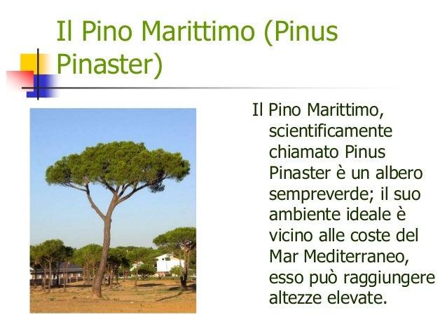 Il Pino Marittimo (Pinus Pinaster) Il Pino Marittimo, scientificamente chiamato Pinus Pinaster è un albero sempreverde; il...