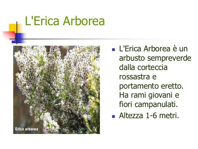 L'Erica Arborea  L'Erica Arborea è un arbusto sempreverde dalla corteccia rossastra e portamento eretto. Ha rami giovani ...