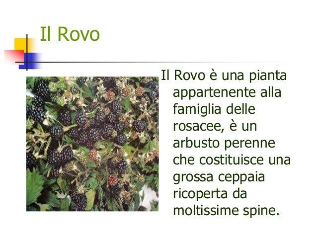 Il Rovo Il Rovo è una pianta appartenente alla famiglia delle rosacee, è un arbusto perenne che costituisce una grossa cep...