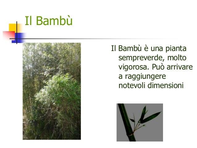 Il Bambù Il Bambù è una pianta sempreverde, molto vigorosa. Può arrivare a raggiungere notevoli dimensioni