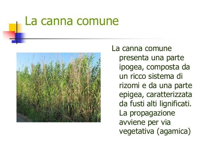 La canna comune La canna comune presenta una parte ipogea, composta da un ricco sistema di rizomi e da una parte epigea, c...