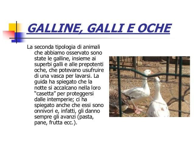 GALLINE, GALLI E OCHE La seconda tipologia di animali che abbiamo osservato sono state le galline, insieme ai superbi gall...