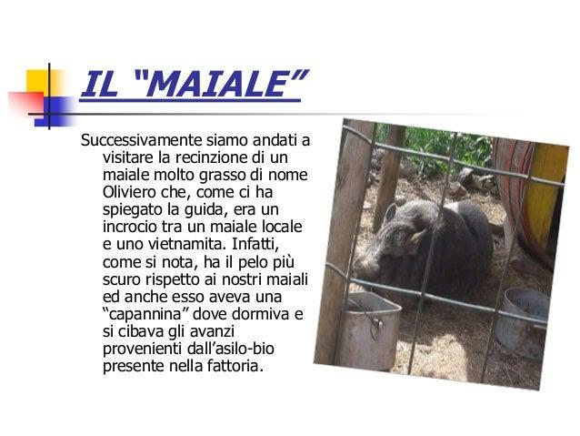 """IL """"MAIALE"""" Successivamente siamo andati a visitare la recinzione di un maiale molto grasso di nome Oliviero che, come ci ..."""