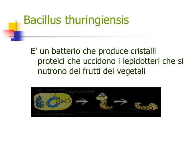 Bacillus thuringiensis E' un batterio che produce cristalli proteici che uccidono i lepidotteri che si nutrono dei frutti ...