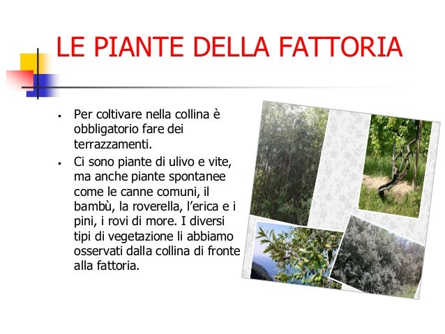 LE PIANTE DELLA FATTORIA • Per coltivare nella collina è obbligatorio fare dei terrazzamenti. • Ci sono piante di ulivo e ...