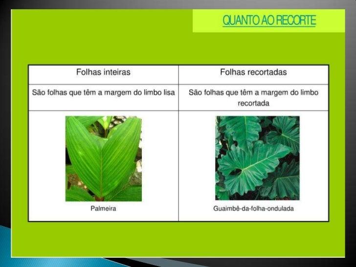 Classifica o das folhas caracter sticas e tipos ii for Tipos de arboles y caracteristicas