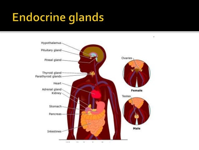 secretes steroids and epinephrine and norepinephrine